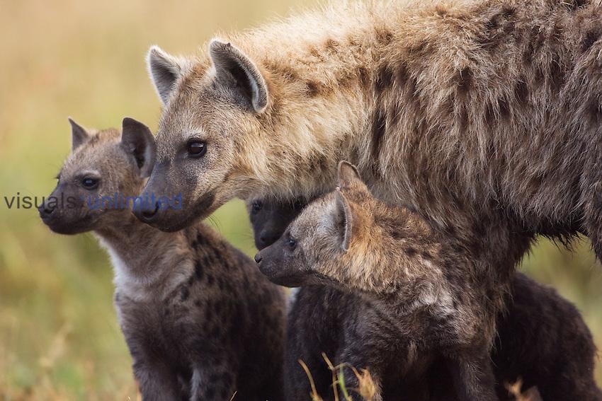 Spotted Hyena with pups watching intently (Crocuta crocuta), Maasai Mara, Kenya.