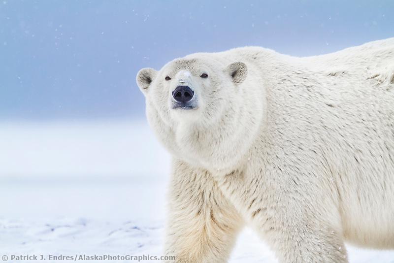 Portrait of an adult female polar bear  in the snow on an island in the Beaufort Sea on Alaska's arctic coast.