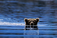 Brown bear in Brooks River, Katmai National Park, Alaska