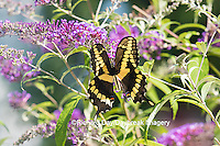 03017-01105 Giant Swallowtail butterfly (Papilio cresphontes) on Butterfly Bush (Buddlei davidii),  Marion Co., IL