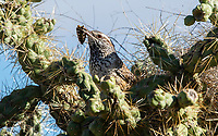A Cactus Wren, Campylorhynchus brunneicapillus, carries an insect to its nest in a cholla cactus in Saguaro National Park, Arizona