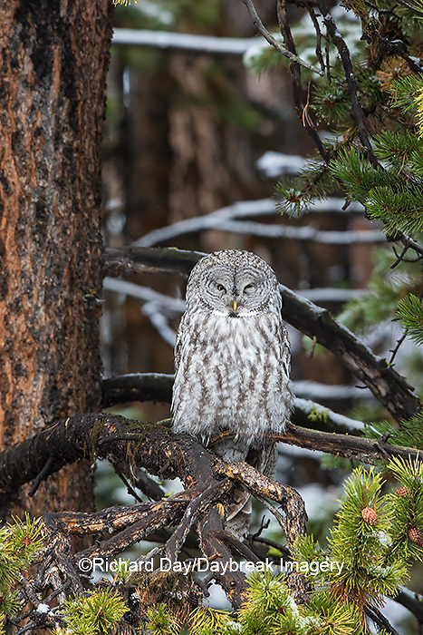 01128-00104 Great Gray Owl (Strix nebulosa) Yellowstone National Park, WY
