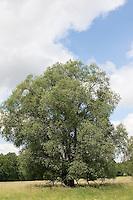 Bruch-Weide, Bruchweide, Knack-Weide, Knackweide, Weide, Salix fragalis, Crack Willow