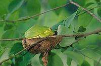 Barking Treefrog; Hyla gratiosa; roosting on cecropia cocoon; Delaware, Blackbird SF