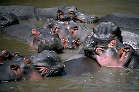 Group of Hippopotamuses bathe in the Mara River, Masai Mara, Kenya.  A hippo can run much faster than a person and be extremely dangerous. Masai Mara, Kenya, Africa.