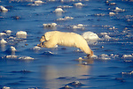 Polar Bear (Ursus maritimus), Jumping on Slick Ice, Hudson Bay, Near Churchill, Manitoba, Canada