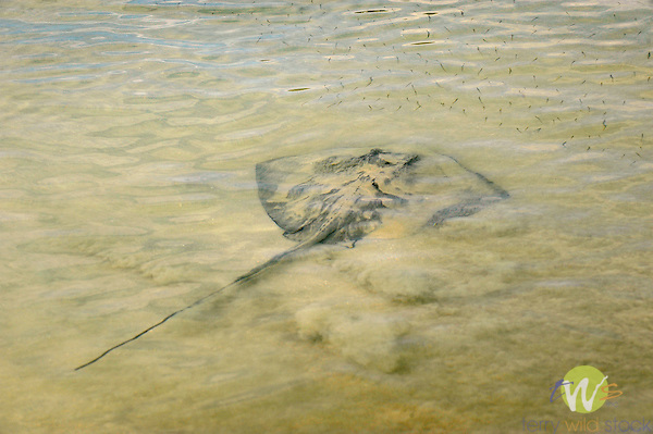 Cinnamon Bay Beach, St. John, USVI, Caribbean. Islands National Park. Stingray in shallow water.
