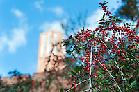 Berries next to Chapel.<br /> (photo by Russ Houston / &copy; Mississippi State University)