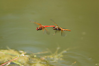 Cardinal Meadowhawks (Sympetrum illotum) mating.  Pacific Northwest.