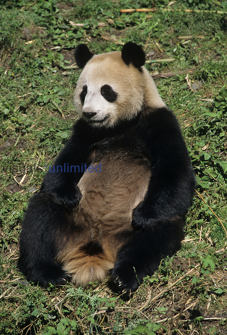 Giant Panda Bear ,Ailuropoda mclanolcucq, Sichuan Province, Wolong Panda Research Facility, Wolong China