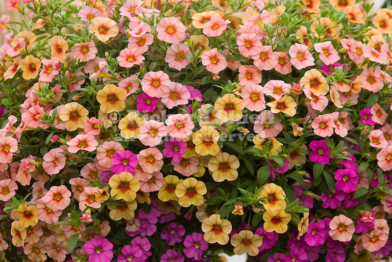 MiniFamous Calibrachoa Mix