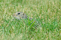 Thirteen-lined Ground Squirrel - Ictidomys tridecemlineatus