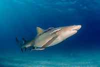 lemon shark. Negaprion brevirostris, pregnant, female, with sharksuckers, Naucrates ductor, Grand Bahama, Bahamas, Caribbean Sea, Atlantic Ocean