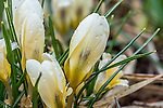 Crocus in Paul Revere Park, Boston, MA