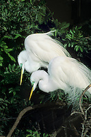 525006618 a wild pair of great egrets casmerodius albus in breeding plumage perch in a large tree at a rookery in south florida