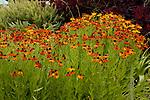 HELENIUM 'MARDI GRAS', SNEEZEWEED