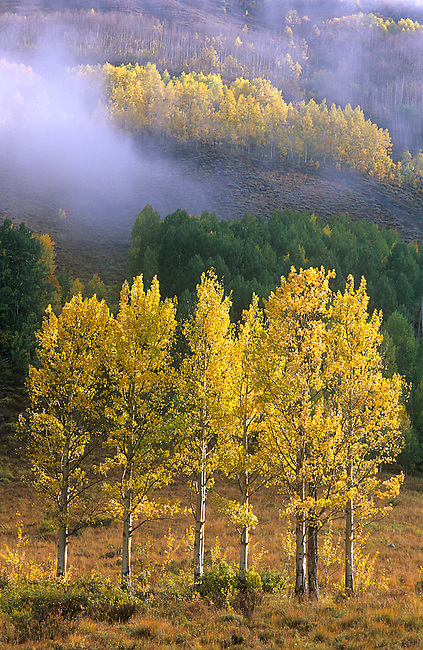 Autumn, Fog, Aspen Trees, Crested Butte, Colorado