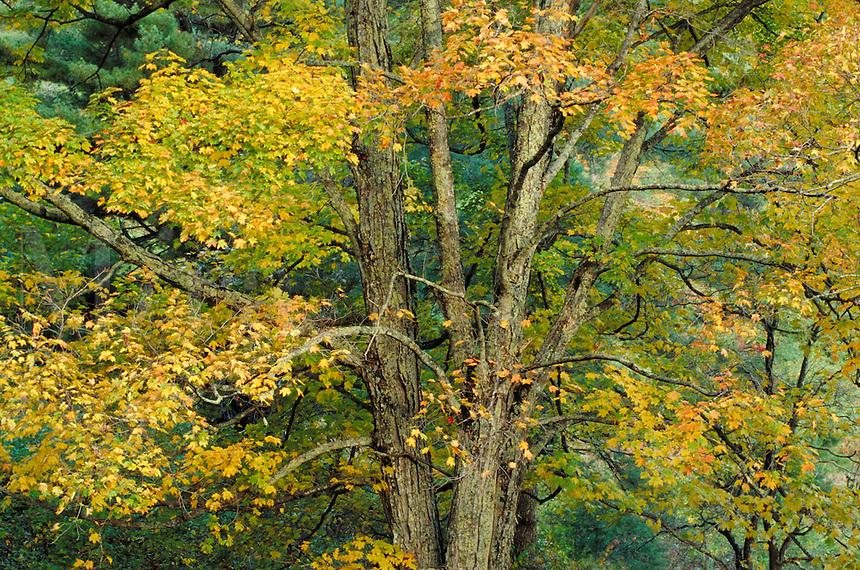 Fall maple tree, autumn. Virginia USA Blue Ridge Parkway.