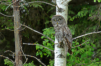 Great gray owl in large aspen tree <br /> Riding Mountain National Park<br /> Manitoba<br /> Canada
