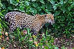 Animais. Mamiferos. Onca pintada (Panthera onca) no Pantanal. 2011. Foto de Ana Druzian.