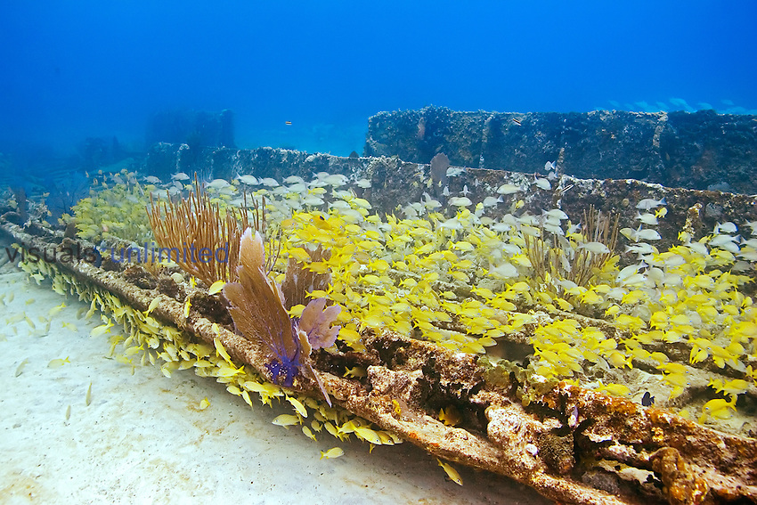 Schooling mixed grunts and snappers, Haemulon sp. and Lutjanus sp., over Sugar Wreck, the remains of an old sailing ship that grounded many years ago, encrusted with Sea Fan, Gorgonia sp., and Sea Rods, West End, Grand Bahamas, Atlantic Ocean