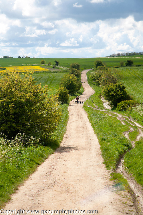 Woman running exercising her dogs on chalk downland on Roundway Down, Devizes, Wiltshire, England