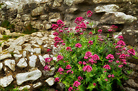 Red Valerian in rock wall at Corfe Castle. Dorset. Jurassic Coast, England
