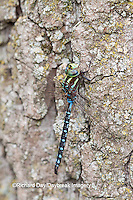 06347-001.07 Lance-tipped Darner dragonfly (Aeshna constricta) male on tree, McHenry Co,. IL