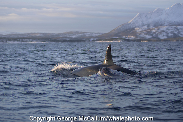 Killer whale Orcinus orca surfacing in fjord. Tysfjord, Arctic Norway