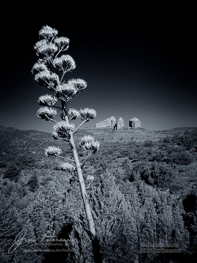 Along The Llama Trail (Infrared).  A blooming century plant (or agave) enjoys its 15 minutes of fame and glory, with Cathedral Rock serving as the backdrop.  These plants typically live 10-30 years before blooming, and then die immediately afterwards.  This scenic trail is south of Sedona, Arizona in the Coconino National Forest.<br /> <br /> Image ©2020 James D. Peterson