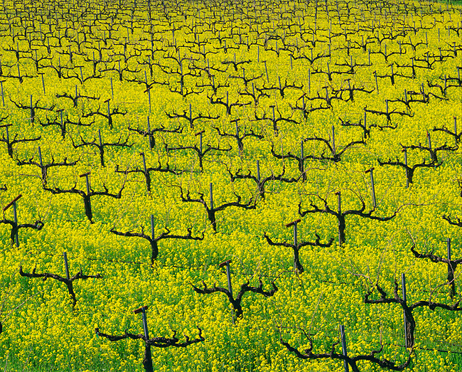Spring mustard on Deer Park Crossroad north of St. Helena