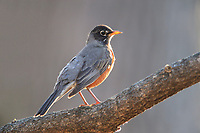 American Robin (Turdus migratorius migratorius), Eastern subspecies, male in New York City's Central Park in spring.