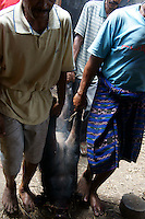 sacrificed pig is carried to village court to burn off hair in straw and be cut, cooked and shared in village Bena, Ngada people, Flores, Indonesia