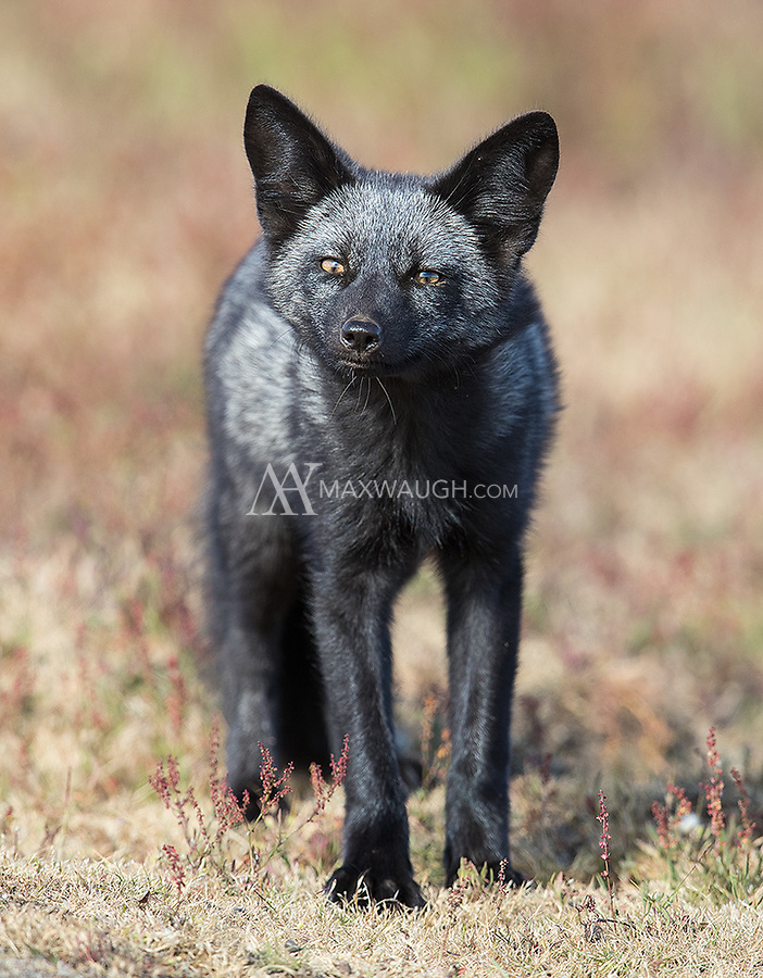 A family of silver (black) foxes lived nearby. Though they weren't as playful as the other family, I had a few opportunities to photograph them.