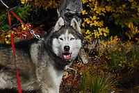 Lakota Sunrise at Clayton Lake in the Flathead National Forest photos of siberian huskies, husky photos, pictures of siberian huskies, best photos of huskies, best photos of siberian huskies