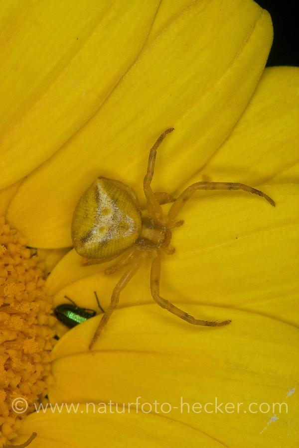 Gehöckerte Krabbenspinne, Krabbenspinne lauert auf Blüte auf Beute, Weibchen, Thomisus onustus, crab spider, Krabbenspinnen, Thomisidae, crab spiders