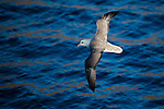 Fulmarus glacialis, Northern Fulmar, near Disko Bay, West Greenland