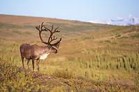 Bull caribou in velvet antlers stands in the tundra in Denali National Park, Alaska.