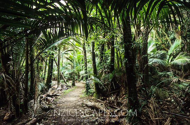 Heaphy Track through Nikau Palm grove, Kahurangi National Park, West Coast, New Zealand