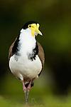 Masked Lapwing (Vanellus miles), Royal Botanic Gardens, Sydney, New South Wales, Australia