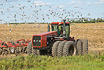 Rodney Mathios with his 12-wheel Case-International 9280 tractor pulls a chisel plow through his soybean field to prepare for the next crop as gulls fly around the newly-tilled soil