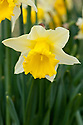 Daffodil (Narcissus 'Crewena'), a very early yellow and white form of 'Rijnveld's Early Sensation', Division 1 Trumpet, mid February.