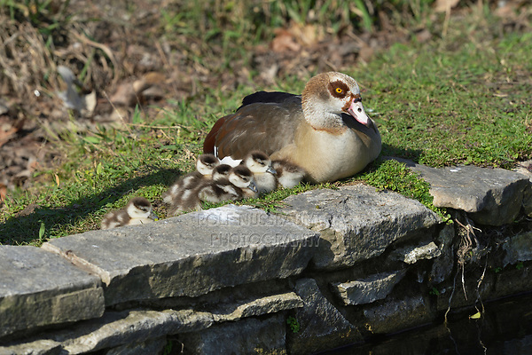 Egyptian Goose (Alopochen aegyptiaca), adult with chicks resting, Hill Country, Central Texas, USA
