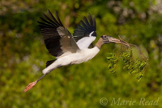 Wood Stork (Mycteria americana) carrying nest material in flight, Brandon, Florida, USA