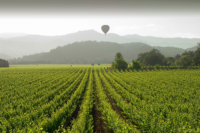 Hot air balloon rises over vineyard near Oakville