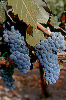 Cabernet Grapes, Napa Valley -Understanding different grape varieties is a great foundation to expanding your wine knowledge and learning which wines are made from each type. Discovering flavor profiles, regions and history of the world's grape varieties, from those used to make red wine, white wine, rose and sparkling wine helps us to understand what we are drinking and appreciate it even more.