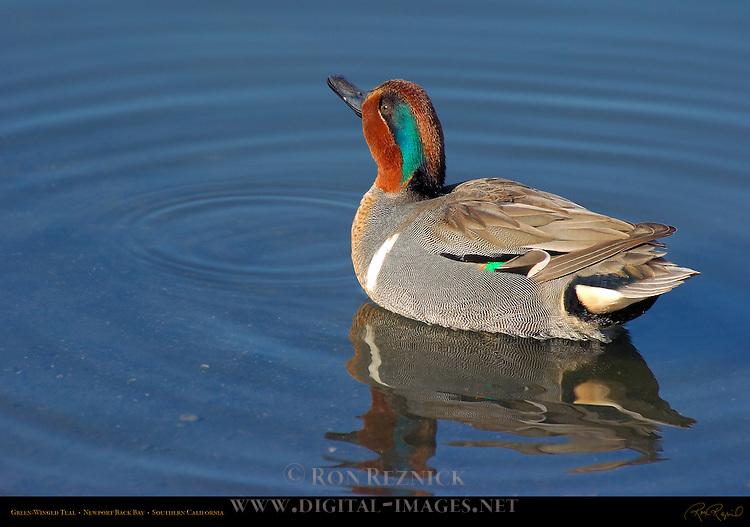 Green-Winged Teal, Male, Drake, Newport Back Bay, Southern California
