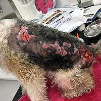 COPY BY TOM BEDFORD MEDIA<br /> Pictured: The damage caused by the jellyfish venom to Peppa the dog while she receives treatment at Vets4Pets in Carmarthen<br /> Re: A family's pet dog was left with horrific flesh wounds after being stung by a jellyfish.<br /> The six-year-old fox terrier called Peppa was attacked as she swam at a popular beach.<br /> She was left writhing in agony from an allergic reaction to the jellyfish venom. <br /> Owner Geraint Evans, 45, got the much-loved pet to a vet in time to save her life.<br /> Geraint said: &quot;Peppa was in a bad way and getting worse. <br /> &quot;We didn't know what it was at first but there were jellyfish on the sand.<br /> &quot;The vets say she encountered one in the water and was badly stung.