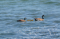 A pair of         swimming with their chicks in the Pacific Ocean, near Jenner, Sonoma County, California, USA. 201304292087<br /> <br /> Copyright Image from Victor Patterson, 54 Dorchester Park, Belfast, UK, BT9 6RJ<br /> <br /> Tel: +44 28 9066 1296<br /> Mob: +44 7802 353836<br /> Voicemail +44 20 8816 7153<br /> Skype: victorpattersonbelfast<br /> Email: victorpatterson@me.com<br /> Email: victorpatterson@ireland.com (back-up)<br /> <br /> IMPORTANT: If you wish to use this image or any other of my images please go to www.victorpatterson.com and click on the Terms &amp; Conditions. Then contact me by email or phone with the reference number(s) of the image(s) concerned.