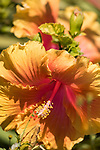 Valley Center, San Diego, California; orange and pink hibiscus flowers in afternoon sunlight